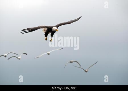 American Bald Eagle in flight. Haliaeetus leucocephalu - Stock Photo