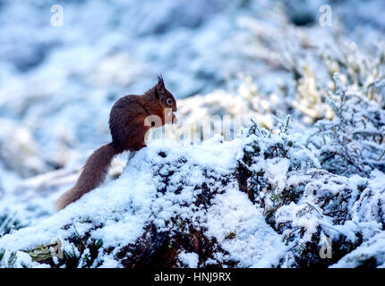 Red Squirrel on a snow covered tree stump - Stock Photo