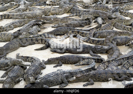 Many young crocodiles lies on a farm in Thailand - Stock Photo