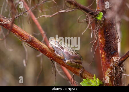 A squirrel tree frog, Hyla sqirella, can change color from brown to green. - Stock Photo