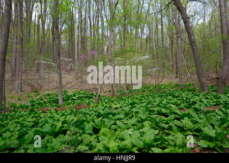 Dogwood And Redbud Trees In Bloom In Spring Time Stock