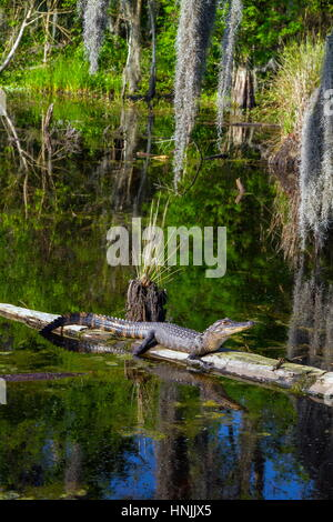 An American alligator, Alligator mississippiensis, hauled out on a log and basking in a swamp. - Stock Photo