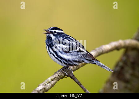 A male black and white warbler, Mniotilta varia, singing a territorial song. - Stock Photo