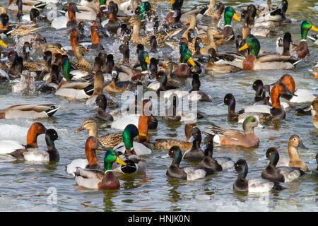 Waterfowl diversity: mallard ducks, Anas platyrhynchos, lesser scaup ducks, Aythya affinis, American wigeon ducks, - Stock Photo