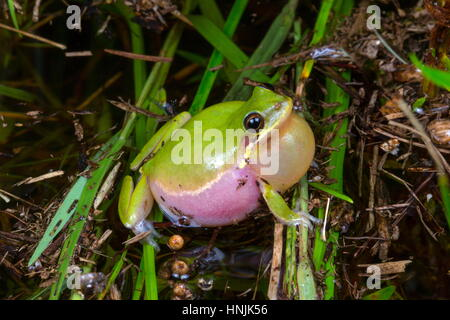 A squirrel tree frog, Hyla sqirella, calling for a mate. - Stock Photo