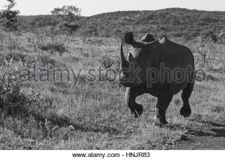 Portrait of a rhinoceros running in the bush. - Stock Photo