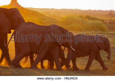 A herd of an African Elephant, Loxodonta Africana, on the move at sunset. - Stock Photo