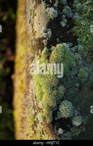 Abstract close up of frosty moss on tree trunk on an November morning, England, UK - Stock Photo