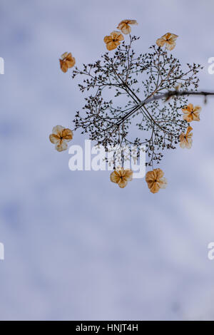 Hydrangea foliage in winter with cloudy blurred sky as background, England, UK - Stock Photo