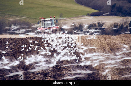 A farm tractor ploughing a field in autumn surrounded by feeding gulls - Stock Photo