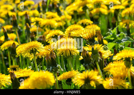 photographed close-up of yellow dandelions in springtime, shallow depth of field - Stock Photo