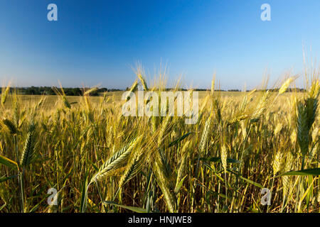 Agricultural field on which grow immature young cereals, wheat. Blue sky in the background - Stock Photo
