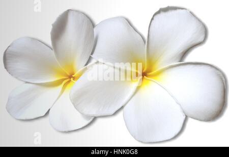 White yellow plumeria flowers isolated on white background - Stock Photo