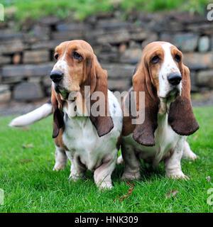 basset hounds - Stock Photo