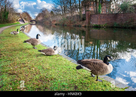 Wild Ducks at Birmingham Canal - Stock Photo