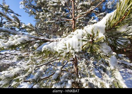 pine under snow - Stock Photo