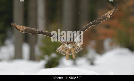 Eurasian eagle-owl (Bubo bubo) flying over snow, Moravia, Czech Republic - Stock Photo
