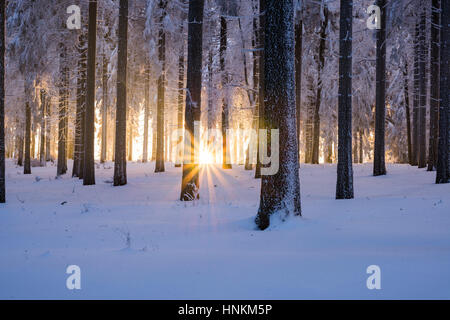 Snowy Norway spruce (Picea abies) forest at sunset, Thuringian Forest, Thuringia, Germany - Stock Photo