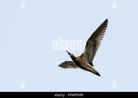 Curlew (numenius arquata in flight) flying overhead with muddy beak after digging in the earth for food, Yorkshire, - Stock Photo