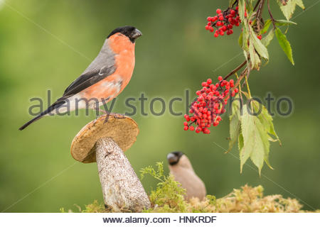 male bullfinch standing on mushroom with berries hanging - Stock Photo