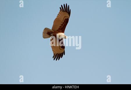 Brahminy Kite - Haliastur indus - adult - Stock Photo
