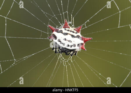 Spiny-backed Orbweaver - Gasteracantha elipsoides cancriformis - Stock Photo