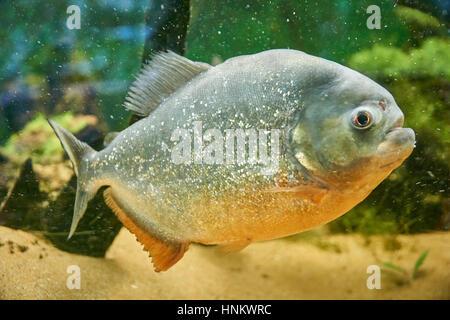 Piranha fish side view close up - Stock Photo