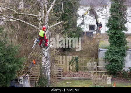 Tree surgeon hanging from ropes in the crown of a tree using a chainsaw to cut branches down. The adult male is - Stock Photo
