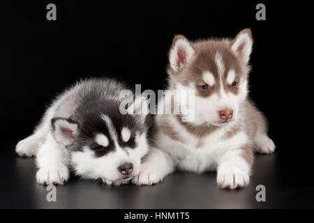 two cute puppy Siberian husky on a black background in Studio - Stock Photo