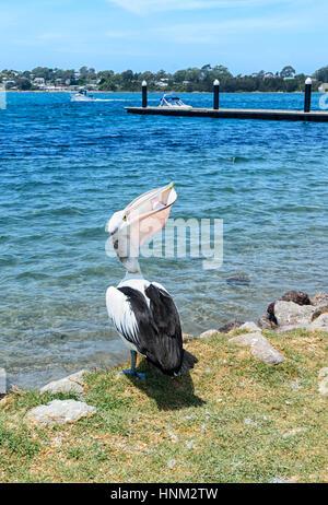 Australian Pelican (Pelecanus conspicillatus) eating fish, Greenwell Point, South Coast, New South Wales, Australia - Stock Photo