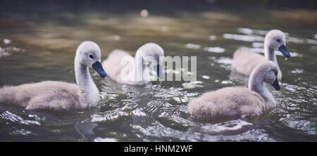 Four swan cygnets swimming together close-up - Stock Photo