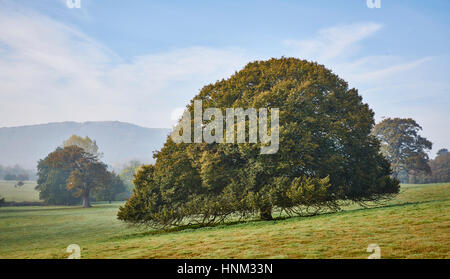 An old beech tree with a clear browse line in a parkland setting - Stock Photo