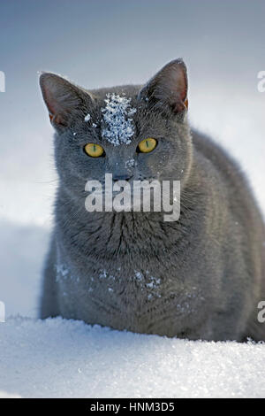 Domestic Cat gray sitting in snow, portrait close up - Stock Photo