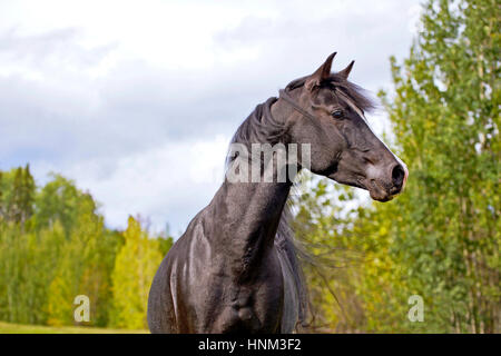 Black Arabian Stallion running on meadow, alert - Stock Photo