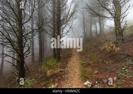 Dark dense pine forest covered in fog, Mijas, Spain - Stock Photo