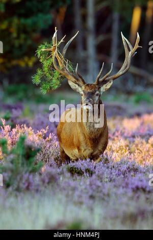 Red Deer, red deer, Rothirsch - Stock Photo