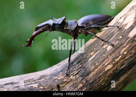 Stag beetle (Lucanus cervus) with the courtship display, Hirschkaefer (Lucanus cervus) bei der Balz - Stock Photo