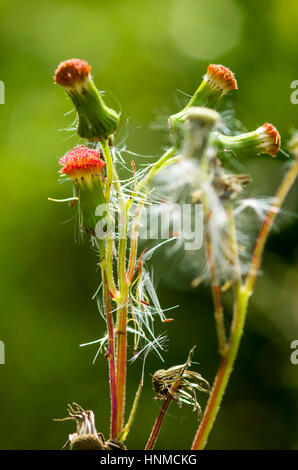 Dandelions on the plateau at Doi Anghnag in Chiang Mai, Thailand. - Stock Photo