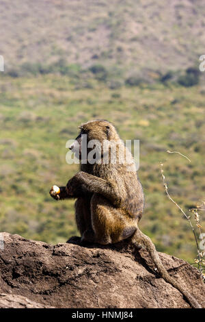A Baboon Eating A Piece Of Bread, Nechisar National Park, Arba Minch, Ethiopia - Stock Photo