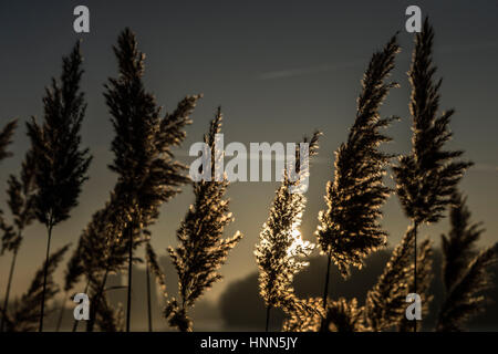 Berlin, Germany. 15th Feb, 2017. Reeds are illuminated as the sun rises over Rummelsburger Bay in Berlin, Germany, - Stock Photo