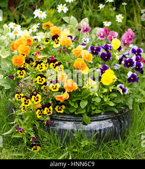 Pansies in a black pot - Stock Photo