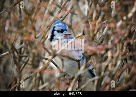 A Blue Jay perches deep in a leafless bush of many branches. - Stock Photo
