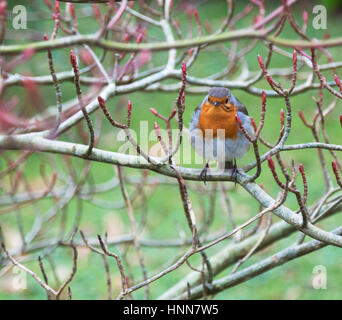 A solitary robing perches on a branch in the middle of a budding bush - Stock Photo