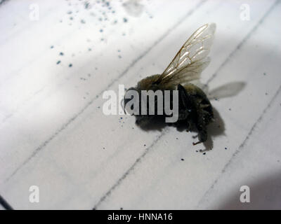 Dead Bee of Collapse. - Stock Photo
