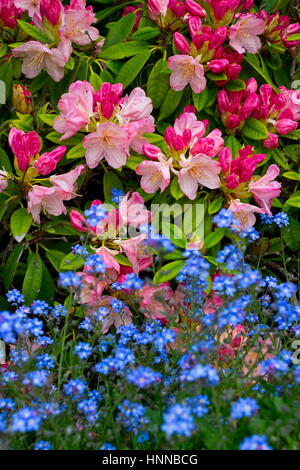 Pink Pearl Rhododendron and Forget-me-nots in flower - Stock Photo