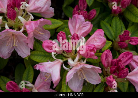 Pink Pearl Rhododendron in flower. - Stock Photo