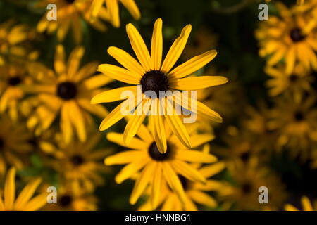Rudbeckia dreamii (Coneflower) yellow flower - Stock Photo