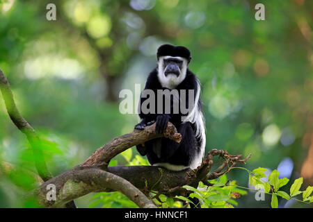 Angolan black and white Colobus, (Colobus angolensis), adult on tree, Africa - Stock Photo