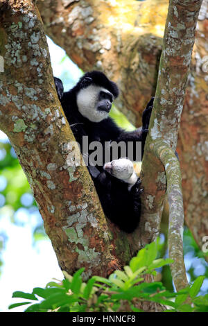 Angolan black and white Colobus, (Colobus angolensis), adult mother with young resting on tree, Africa - Stock Photo