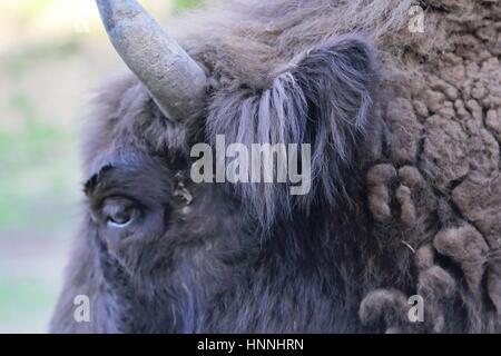 European Bison (Bison bonasus) in Bieszczady National Park, Poland - Stock Photo